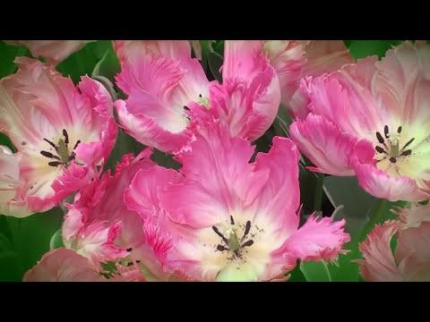 Весенняя мелодия тюльпанов.