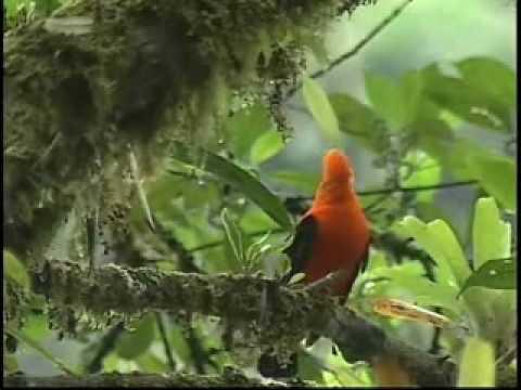 Videos de Peru - Peru Verdadero Paraiso de Aves