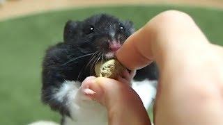 ご飯を奪い取るときの背伸びが可愛すぎる!おもしろ可愛い癒しハムスターStretch when the Funny hamster takes away the pellet is too cute!