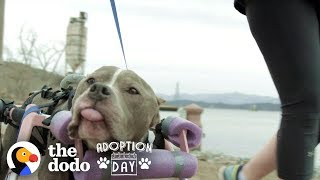 This Senior Pit Bull Is Proof That Love Can Heal Anything | The Dodo Adoption Day