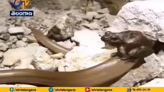 Prey rides the predator as video of frog sitting on snake ..