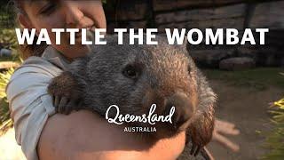 Meet Wattle the wombat at Australia Zoo