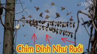 Bẫy Chim Sẻ Với Thế Cắm Phá Cách Và Tiếng Víp -Tuyên đen Theo gỡ chim mỏi tay