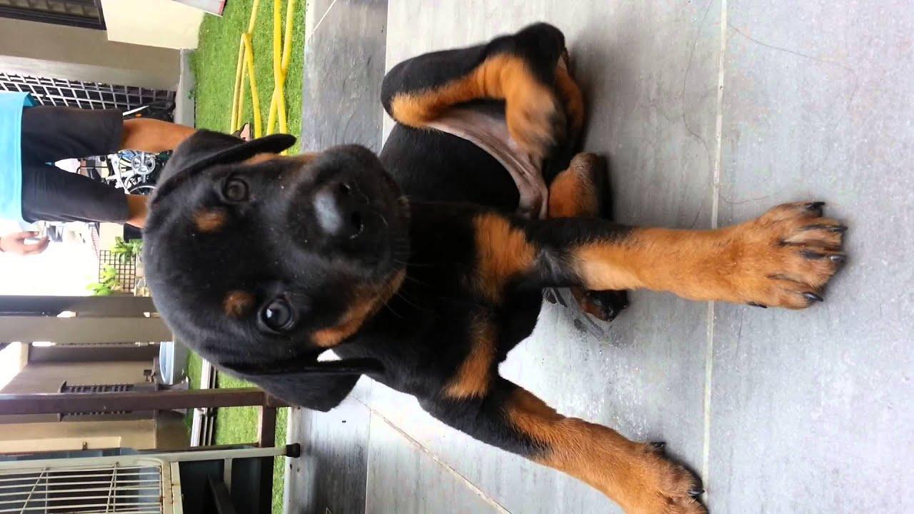 Dobermann Mix Great Dane Puppy