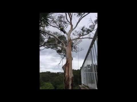 Complex Tree Climbing | Bohmer's Tree Care