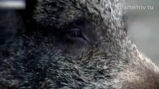 ДНК вируса чумы обнаружили у диких кабанов, найденных у села Рубиновка