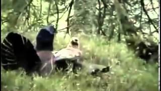 Gà rừng tử với chiến đại bàng để cứu bạn