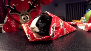 How to Giftwrap a Guinea Pig for Christmas