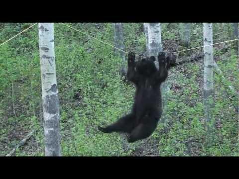 Medvjeđe penjanje po užetu