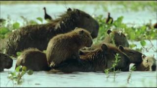 documentary animal the capybara  for children and adults  HD