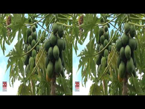 3D Video extreme!!! (evo 3D Works) 3D Video Papaya Tree