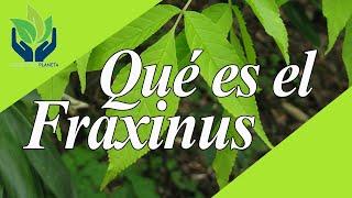 Fraxinus (fresno): tipos, características, cuidados...