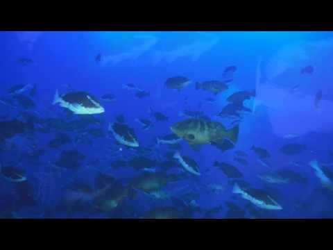 Nassau Grouper Spawning aggregation - Little Cayman