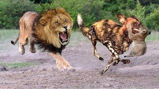 Mother Lion destroy 10 Wild Dogs Save Lion Cubs - Epic battle! Wild Dogs vs Lion
