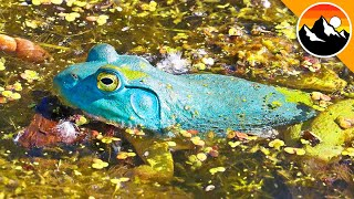 BLUE FROG - See it to BELIEVE IT!