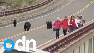 Black bears chase after tourists at Yellow Stone National ..