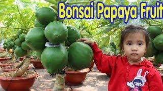 Amazing Papaya Fruit Bonsai Tree ( Cây Cảnh Tet Vietnam 2018 )