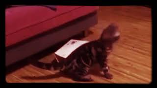 This is how fast cats forget. ( funny cat video)