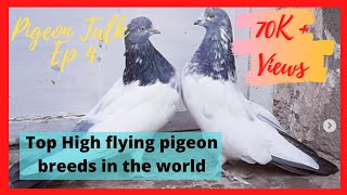 Top High flying pigeon breeds in the world/ Unchi uran waley kabootaro ki naslen