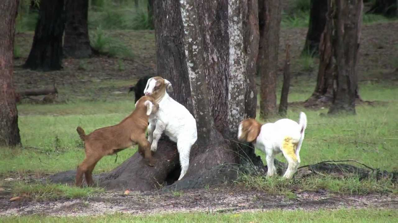 Baby Goats Playing in Tree - YouTube