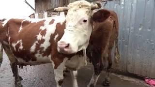 Ferma de vaci, rasa Baltata Romaneasca - proprietar Morea Adrian 2018