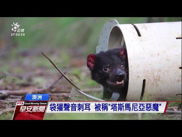 澳洲「塔斯馬尼亞惡魔」 瀕臨滅絕袋獾復育有成