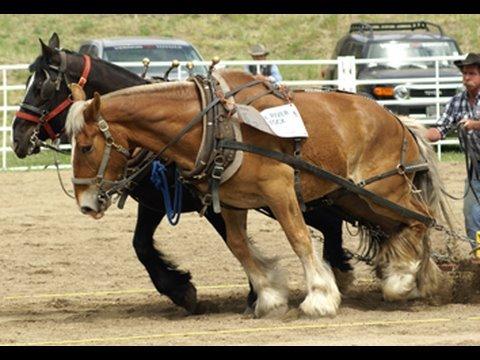 Draft Horse Pull At Falkland Bc Youtube