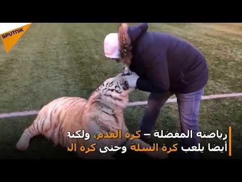 فيديو.. نمر يلعب كرة القدم باحتراف