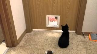 Teaching kitty how to use pet door