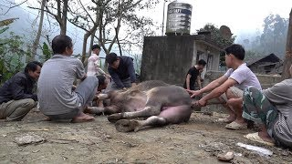 The whole village together operated buffalo, episode 1, wild Tet