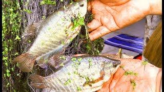 Cá Sặc 3 Món - Tái - Kho - canh ☆ Góc Chia Sẻ