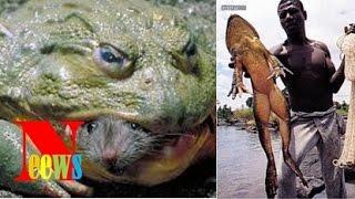 Top 18 'quái vật' khổng lồ đời thực (P2) | Ếch khổng lồ săn rắn