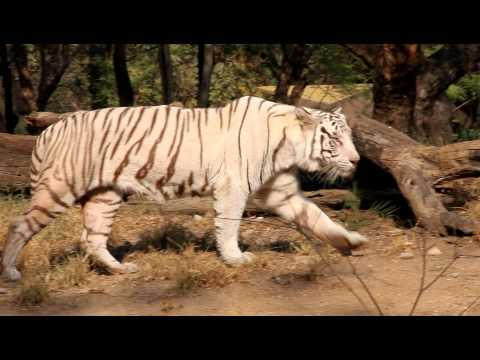 White Tiger (Bengal Tiger) at Hyderabad Zoo