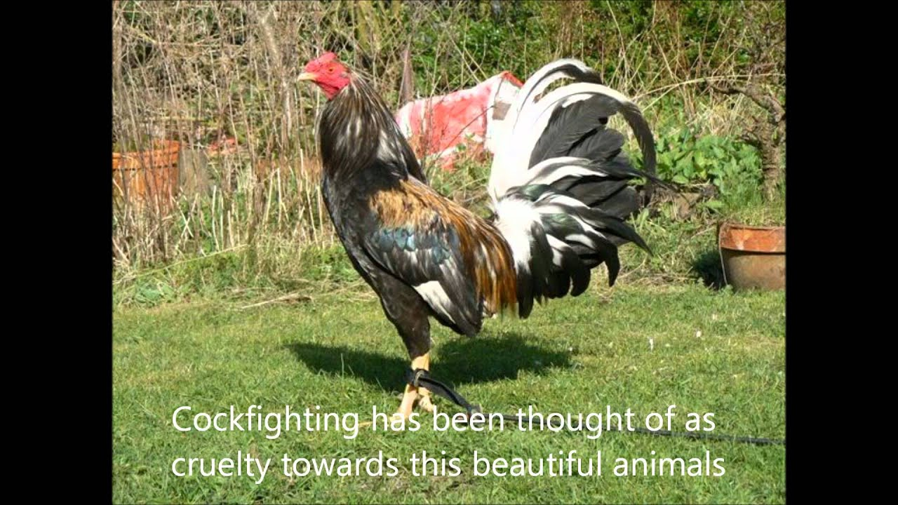 Cockfighting Video 29