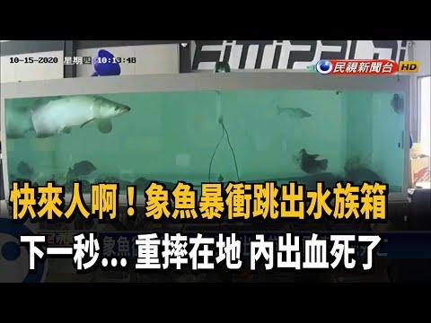 象魚衝破蓋板 暴衝跳出水族箱 重摔在地死亡-民視新聞