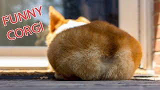 Funny and Cute Corgi Compilation | Best Funny Corgi Videos Part 2