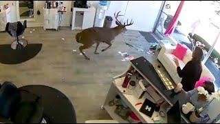 Deer Crashes Through Hair Salon