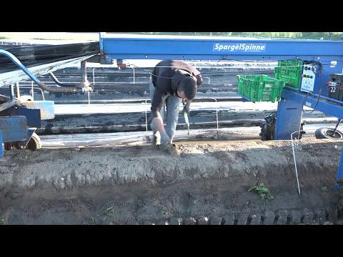 BEJO  |  In der Praxis - Spargel  |  Ernte von Prius