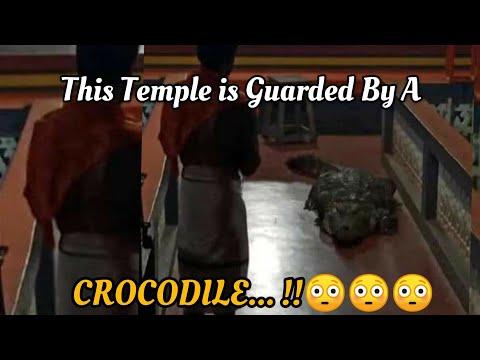Babiya, Vegetarian Crocodile enters Ananthapura Lake temple in Kerala, video goes viral