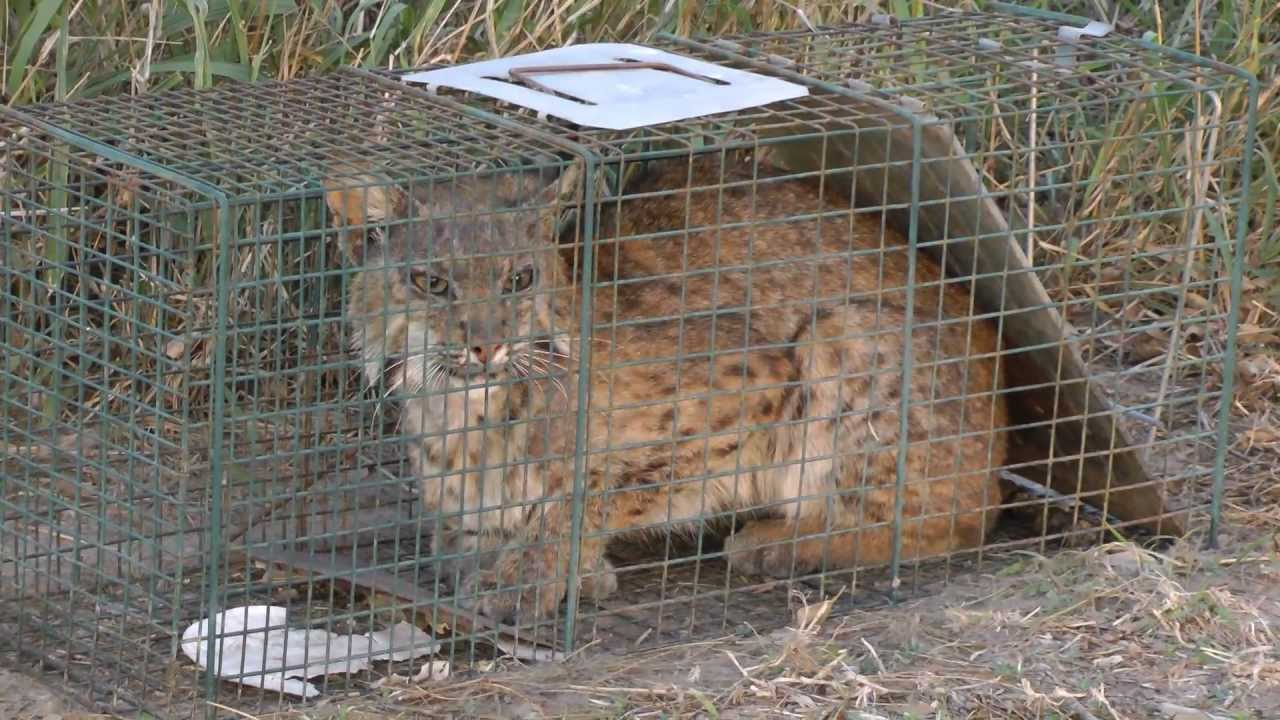 Bobcat caught in a raccoon trap. He escaped just before ...