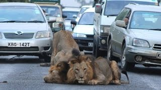 Lion Caught Out and About on the Streets of Nairobi
