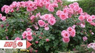 Ngắm hoa hồng cây giá siêu đắt | VTC