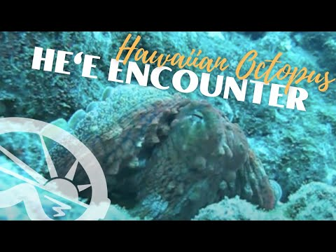He'e... hey! Octopus encounter with Extended Horizons Scuba, Maui