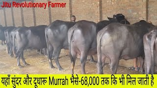 काँमधेनु डेयरी फार्म For sale sahiwal cow & Murrah