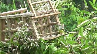 Cara memikat burung ciblek menggunakan jebakan dari pelepah pohon sagu