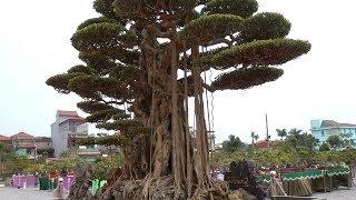 Quá bất ngờ người Nam mua cây gần 10 tỷ của người Bắc - Price of the most beautiful bonsai tree
