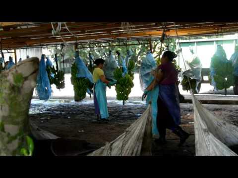 Del Monte Banana Plantation #1 - YouTube