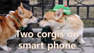 Two corgis on smart phone | Lovoom pet camera |best pet camera