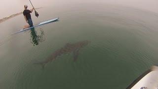 サメに囲まれたパドルボーダー