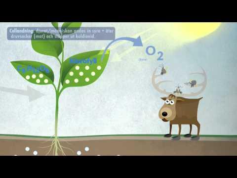 Fotosyntes och cellandning (NO)